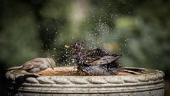 Steady on mate! (Stu thatcher) Tags: bird uk water bath fast shutter speed birds wet splash britain england english worcester worcestershire
