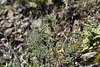 Lavandula stoechas (esta_ahi) Tags: priorat flor flora flores silvestres lavandula stoechas lavandulastoechas labiatae lamiaceae cantueso capdase camídelesmines tarragona spain españa испания
