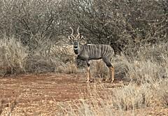 What a Way to Start the Day (The Spirit of the World) Tags: lesserkudu kudu antelope safari gamedrive bush brush kenya amboseli wildlife nature eastafrica africa portrait pose markings ngc npc