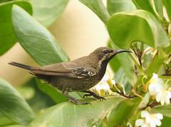 Shining Sunbird, Cinnyris habessinicus (ammadoux) Tags: cinnyrishabessinicus cinnyris habessinicus shining sunbird shiningsunbird birdsofoman sallalhbirds ammadoux femaleshiningsunbird nectariniidae