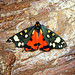 [2068] Scarlet Tiger (Callimorpha dominula)