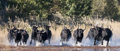 2016 Best Bulls in Camargue (17) (maskirovka77) Tags: vauvert languedocroussillonmidipyrén france languedocroussillonmidipyrénées fr