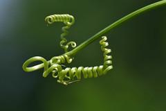 Riccioli (luporosso) Tags: natura nature naturaleza naturalmente nikon ricciolo curl verde green