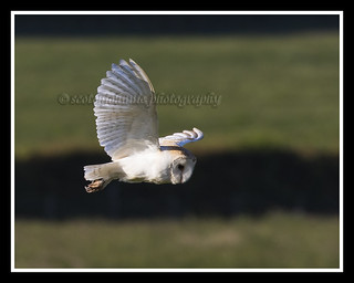 IMG_0154 Barn Owl
