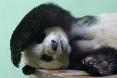 Giant Panda, Edinburgh Zoo, March 1st 2016 (Southsea_Matt) Tags: giantpanda ailuropodamelanoleuca march 2016 spring edinburghzoo lothian scotland unitedkingdom canon 60d sigma 70200mm wildlife animals