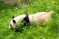 IMG_0505.jpg (wfvanvalkenburg) Tags: ouwehandsdierenpark panda familie