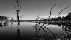 Branches (leah.kling) Tags: water lake lakes mountain mountains color landscape reflection forest glacier national park montana usa us explore adventure hike trail nature natur sky blue cloud clouds serene bnw bw black white blackandwhite bandw