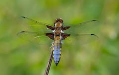 Broad-bodied Chaser (Libellula depressa) (Bob Eade) Tags: broadbodiedchaser dragonfly abbottswood eastsussex wildlife woodland sussex odonata male nikon nature