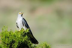 Cuckoo (Esmaeel Bagherian) Tags: cuckoo bird birds birdsphotography birdsofiran birdwatching birdwatcher esmaeelbagherian nikond7000 nikon tamron tamron150600 2017 1396 اسماعیلباقریان نیکون پرندگانایران پرندگان پرندهنگری پرنده تامرون