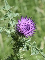 Thistle (MJ Harbey) Tags: thistle purple stowegardens nationaltrust cirsium flower wildflower garden park plant