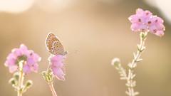 Feel the Summer (Wim Boon (wimzilver)) Tags: vlinder wimzilver wimboon canoneos5dmarkiii canon100mmf28lismacro macro macrofotografie tegenlicht heideblauwtje