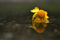 solitude (joy.jordan) Tags: flower reflection puddle texture bokeh aftertherain nature summer