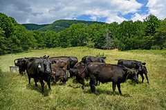 CALS.WesternNC.Buncombe.0550 (ncsuweb) Tags: mountains cows beef bovine heifers green field fills cals buncombe livestock animals cow westernnc