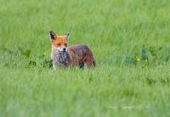 Reynard the Fox. ( Explored ) (nondesigner59) Tags: reynard redfox vulpesvulpes wildlife nature hunter predator animal copyrightmmee eos7dmkii nondesigner nd59