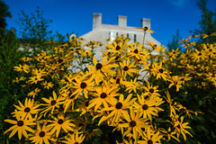 Blackeyed Susans at Shaker Village