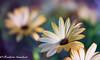 sweet (frederic.gombert) Tags: color light sweet soft colors flower flora plant garden spring summer sun sunlight macro nikon coth5