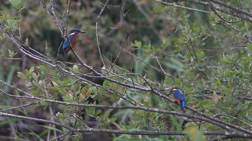 Two Kingfishers