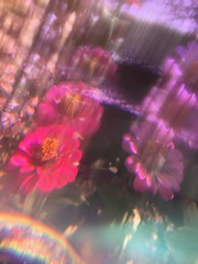 vanishing (meeeeeeeeeel) Tags: blurred blur blurry plasticfilter filtro filter pinkflowers moçasevelhas zinnias zinnia flowers