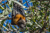 Grey-headed Flying Fox (Erdel) Tags: bat flyingfox pteropuspoliocephalus