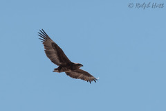 Tawny EagleRH2_6715 (rhatt123) Tags: africa aquilarapax namibia photosafari tawnyeagle