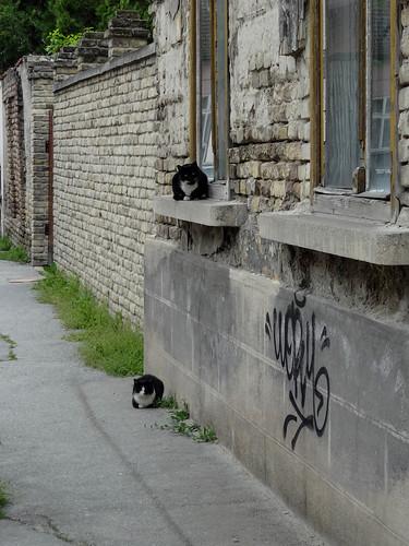 Street cats, Subotica