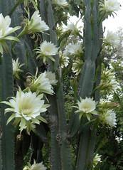 Cayuco III (Karen Blix) Tags: santodomingo parquemiradorsur cayuco cactaceae cereus cereushexagonus
