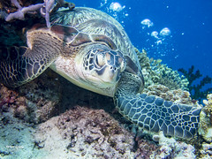 brianleungphotography-62 (brianleung5895) Tags: tortoise fish reef seaworld sea diving ilovetravel photoofday photooftheday photographer travel travelphotography wonderful wonderfulworld moalboal cebu philippines momentwithbrian epl3 olympus hkig