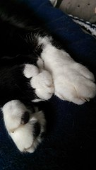 Paws ❤ (KT-wu) Tags: paws catpaws cat kitty blackandwhitecat tuxedocat rescuecat maxthecat