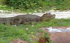 Alligator (Steve Aynes Images) Tags: mote wildlife reptile alligator florida