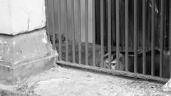 Wukong in the cage (lin.chinhu) Tags: wukong cage incage jail sad sadness boring animal animalplanet animallover saigon zoo thezoo vietnam monkey deep blackandwhite bw