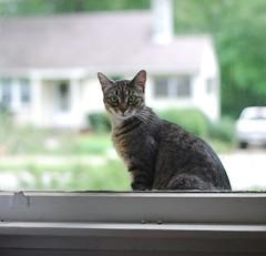 demure Camille at the window (1 of 2) (rootcrop54) Tags: camille female tabby cat tabbies window insideoutside housebokeh neko macska kedi 猫 kočka kissa γάτα köttur kucing gatto 고양이 kaķis katė katt katzen kot кошка mačka maček kitteh chat ネコ explored