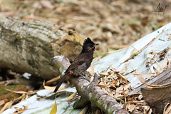 IMG_8242 (arifulkabirahmed1) Tags: redventednightningale bulbul common bird wildlife