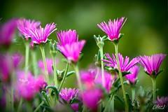 ___ mesembryanthemum ___ (erman_53fotoclik) Tags: mesembryanthemum canon eos 500d erman53fotoclik petali colore verde ciclamino profili flora fiori assieme