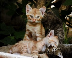 Siblings (tanreineer) Tags: play wild nature whiskers cute life animals nikonp900 kitten cats