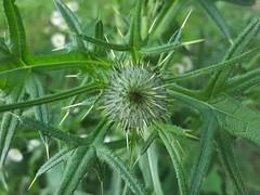 (Iggy Y) Tags: cirsiumvulgare cirsium vulgare spring field plant green leaves osjak spearthistle weed day light običniosjak streličasti thistle