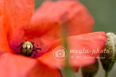 Señal de verano... (meyla555) Tags: makro macro mohn blume blüte flower flor flora amapola poppy rot red rojo natur naturaleza nature nahlinse raynox250 pflanze plant planta