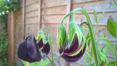 WP_20170708_07_08_37_Pro (Stitchinscience) Tags: garden morning light sweetpea bud