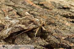 Yellow-striped Armyworm Moth - Hodges#9669 (Spodoptera ornithogalli) 20170624_3705.jpg (Abbott Nature Photography) Tags: animals arthropodaarthropods endopterygota hexapoda insectainsects invertebratainvertebrates lepidopterabutterfliesmoths neoptera noctuidaeowletmothsmillermoths noctuoidea organismseukaryotes pterygota moth gordo alabama unitedstates us