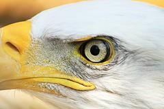 Bald Eagle. 300m Freehand. (mikemccumber) Tags: baldeagle baldeagles eagles eagle birds birding birdsofprey ontario canada