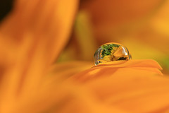 The garden in the drop (alideniese) Tags: macro closeup bokeh water waterdrop droplet gotas flower petal sunflower orange refraction colour alideniese