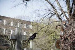 Life in the cemetery (xibalbax) Tags: squirrel canon canoneos7d animal wildlife bird raven 50mm london cemetery graveyard