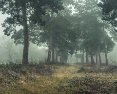 Avenue (jellyfire) Tags: landscape landscapephotography shingle shinglestreet sonnartfe55mmf18za sony sonya7r fog leeacaster mist trees wood wwwleeacastercom zeiss