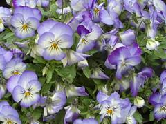 Pretty pansies (bryanilona) Tags: pansies flowers blooms petals garden perth scotland abigfave fantasticflowers