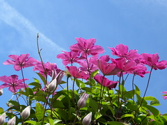 Greeting the morning (oh.suzannah) Tags: clematis arch sky