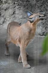 eriezoogrp2DSC_0089 (lwolfartist) Tags: caracal cat feline mammal animal nature photo