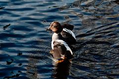 Telkkä / Goldeneye (Tuomo Lindfors) Tags: kajaani suomi finland dxo filmpack telkkä goldeneye lintu bird vesi water kajaaninjoki tamronsp70200f28divcusd