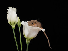 A white cup for a little mouse (susie2778) Tags: olympus omdem1mkii 12100mmf4pro harvestmouse captive captivelight flash studio olympusm12100mmf40 mft