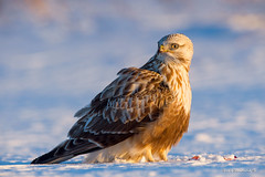 Dinner is done.. (Earl Reinink) Tags: hawk raptor winter snow bird animal bif wingsinmotion twighlight roughleggedhawk buteolagopus earl reinink niagara eeaaoaudoa