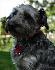 """ Yes Lucy, I Know What I'm Doing "" (John Neziol) Tags: jrneziolphotography nikon nikondslr nikoncamera nikond80 brantford schnauzer outdoor pet portrait petphotography petphotographer dog dognose animal closeup cute bokeh"