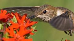 Rufous Hummingbird (photosauraus rex) Tags: hummingbird rufous bird outdoor vancouver bc canada nonbaited